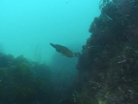 WS cuckoo wrasse bringing back nest material. Channel Island, UK