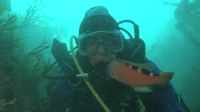 vidéos et rushes de cuckoo wrasse (f) (labrus bimaculatus) looks at diver, guernsey, english channel, uk - cuckoo wrasse