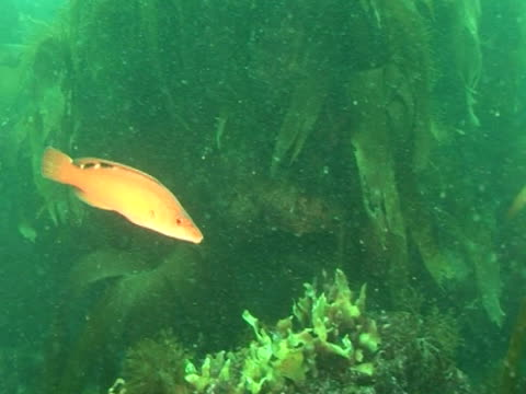 vídeos de stock, filmes e b-roll de cuckoo wrasse swimming amongst the weeds - cuckoo wrasse