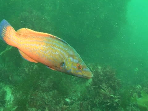 vídeos y material grabado en eventos de stock de cuckoo wrasse swimming amongst the weeds - cuckoo wrasse