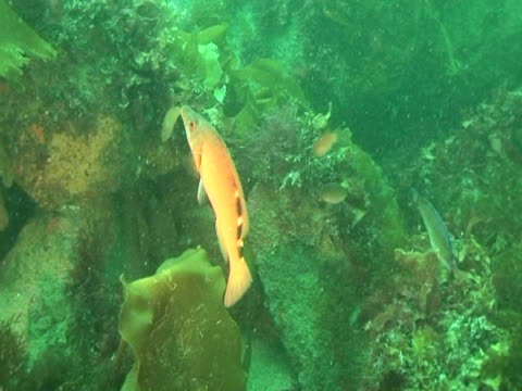 cuckoo wrasse swimming amongst the weeds, with other fish - cuckoo wrasse stock videos and b-roll footage