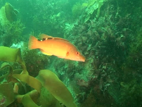 vidéos et rushes de cuckoo wrasse swimming amongst the weeds, with other fish - cuckoo wrasse