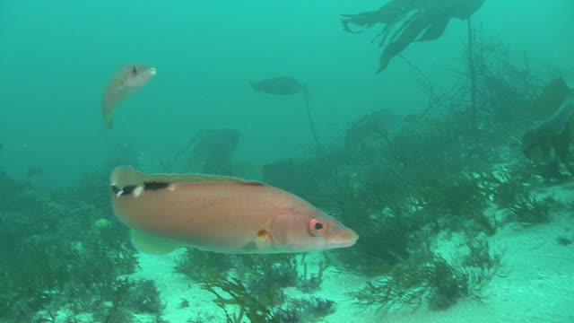 cuckoo wrasse (f) (labrus bimaculatus) swimming, guernsey, english channel, uk - cuckoo wrasse stock videos and b-roll footage