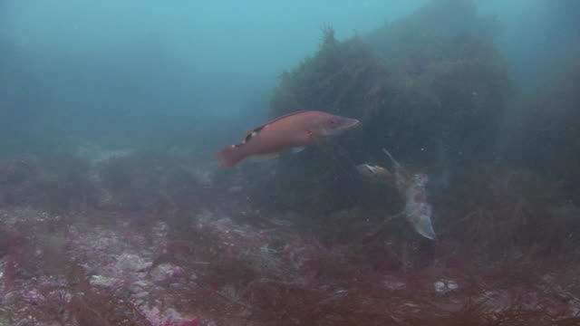 cuckoo wrasse - cuckoo wrasse stock videos and b-roll footage
