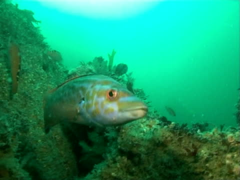 cuckoo wrasse (male) - cuckoo wrasse stock videos and b-roll footage