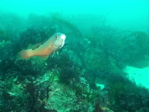 cuckoo wrasse (female) - wrasse stock videos & royalty-free footage