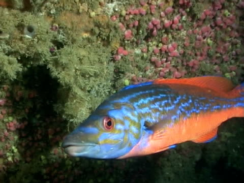 vidéos et rushes de cuckoo wrasse (male) - cuckoo wrasse