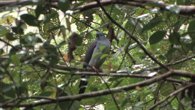 ms, la, cuckoo-roller (leptosomus discolor) perching on branch and flying away, toamasina province, madagascar - branch stock videos & royalty-free footage