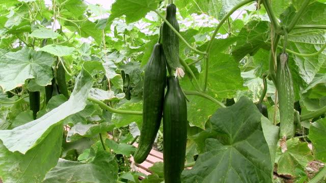 ms cucumber at greenhouse / serrig, rhineland-palatinate, germany - cucumber stock videos & royalty-free footage