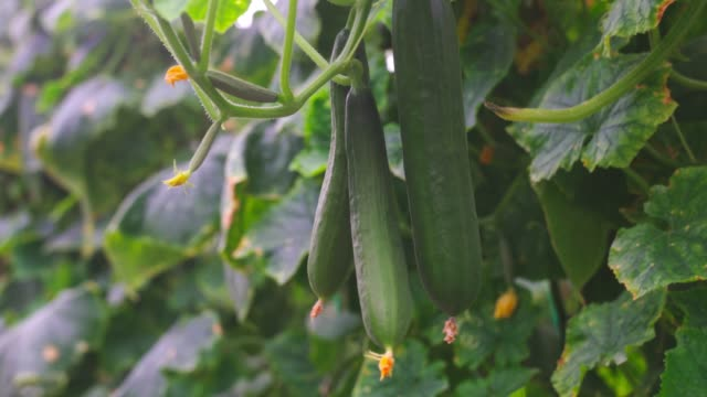 cucumber field - cucumber stock videos & royalty-free footage