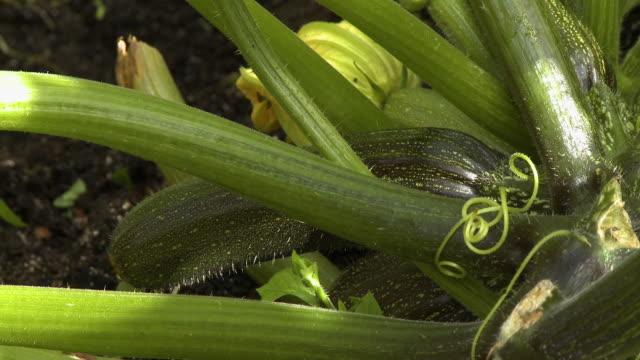 cucumber near garden floor - cucumber stock videos & royalty-free footage