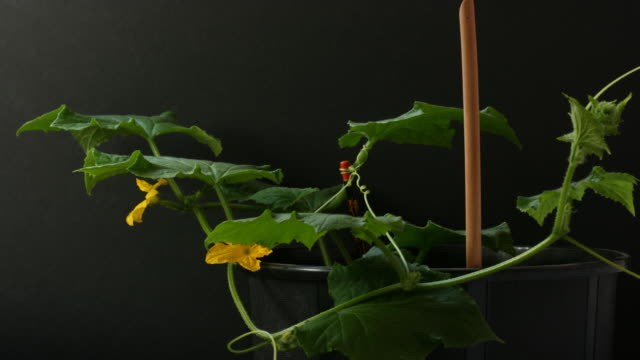 cucumber plant time lapse - vine stock videos & royalty-free footage