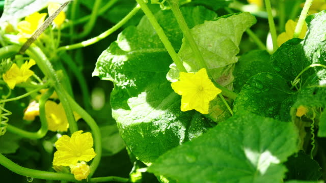 cucumber plant - cucumber stock videos & royalty-free footage