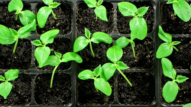 cucumber seedlings sprout. top view - bud stock videos & royalty-free footage