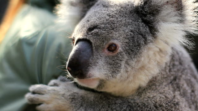 cuddling koala - holding stock videos & royalty-free footage