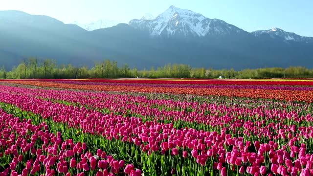 cultivated tulip field fraser valley british columbia - blossom stock videos & royalty-free footage