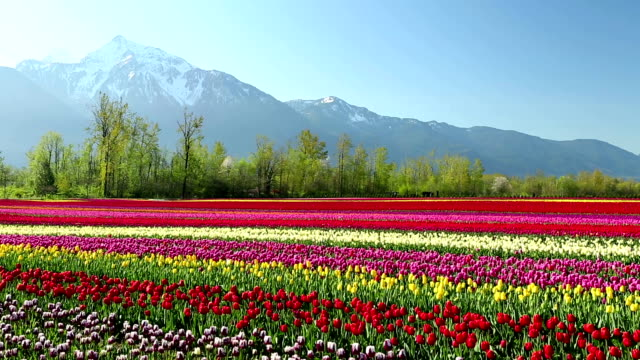 cultivated tulip field fraser valley british columbia - valley stock videos & royalty-free footage