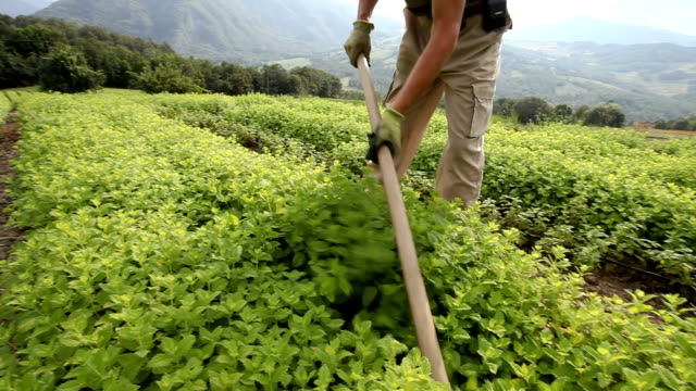 vídeos y material grabado en eventos de stock de cultivation of medicinal plants. - herbs