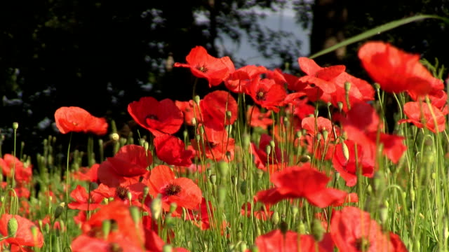 cultivation of medicinal plants. - poppy plant stock videos and b-roll footage