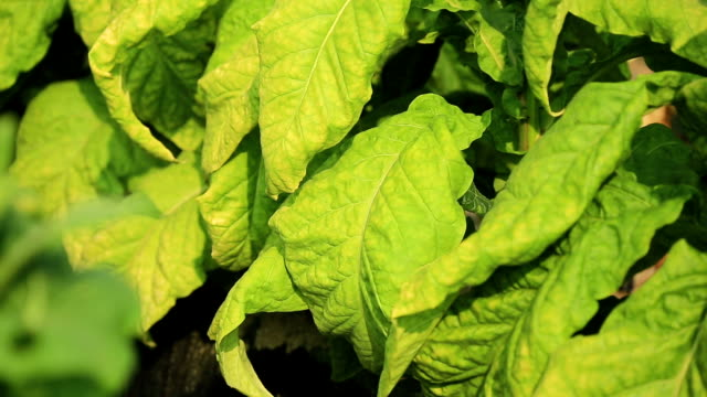 Cultivation of tobacco leaf