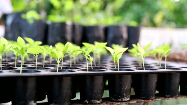 vídeos de stock e filmes b-roll de cultivation row of chilli sprout growing in tray - bandeja utensílio doméstico