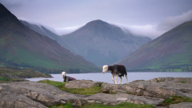 cumbrian sheep on the edge of wastwater in the lake district - livestock stock videos & royalty-free footage