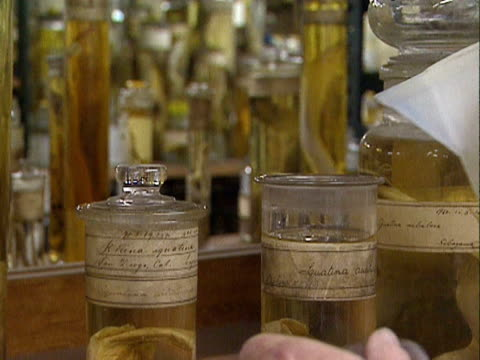 curator tops up liquid in preserving jars holding specimens in a storeroom of the natural history museum, london; 1999 - curator stock videos & royalty-free footage