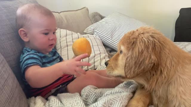 vídeos y material grabado en eventos de stock de curious baby plays with toy ball and the family dog (audio) - mascota
