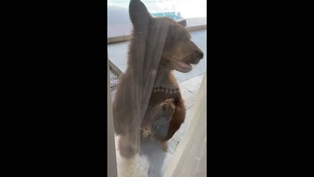 vidéos et rushes de curious bear surprised sierra madre woman tiffany dukes by pawing at sliding doors at the back of her rental property on october 16. dukes filmed... - glisser