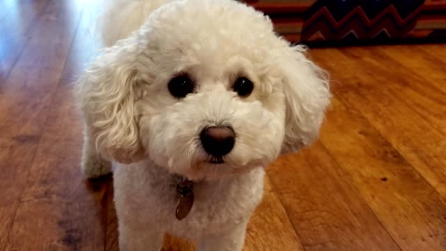 curious bichon frise - bichon frise stock videos and b-roll footage