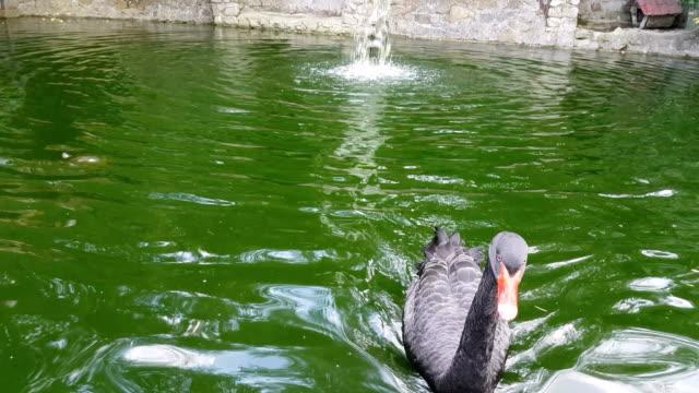 stockvideo's en b-roll-footage met nieuwsgierig zwarte zwaan in vijver - knobbelzwaan