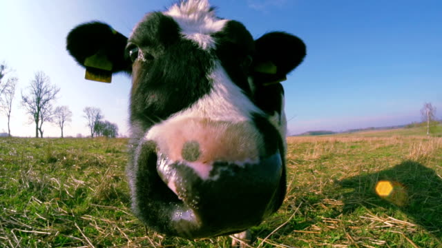 curious calf - domestic cattle stock videos & royalty-free footage