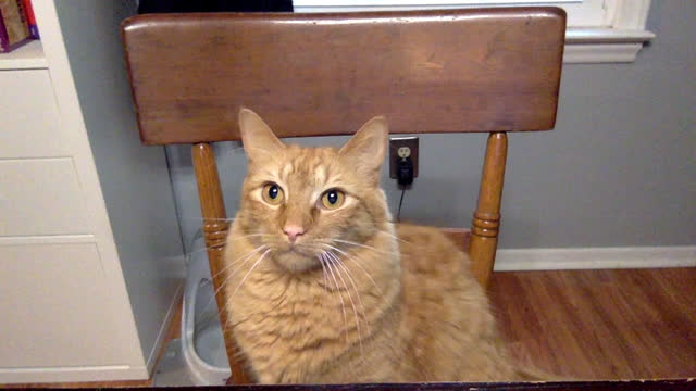 curious cat on video call paws at webcam - animal hair stock videos & royalty-free footage