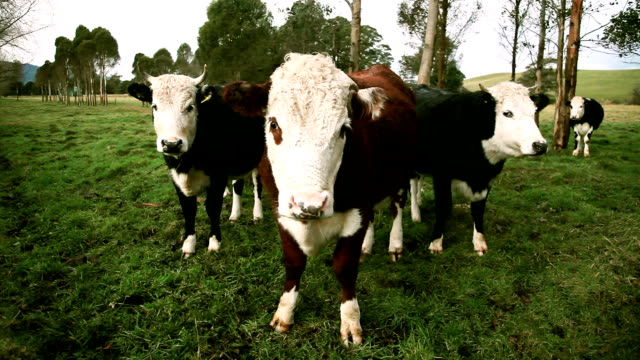 curious cattle closeup - animal head stock videos & royalty-free footage