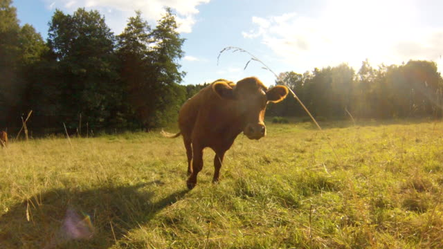 stockvideo's en b-roll-footage met curious cow kissing camera - weide