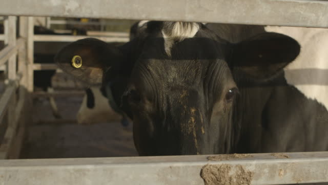 a curious dairy cow is suddenly startled by something next to her pen, uk. - cow stock videos & royalty-free footage