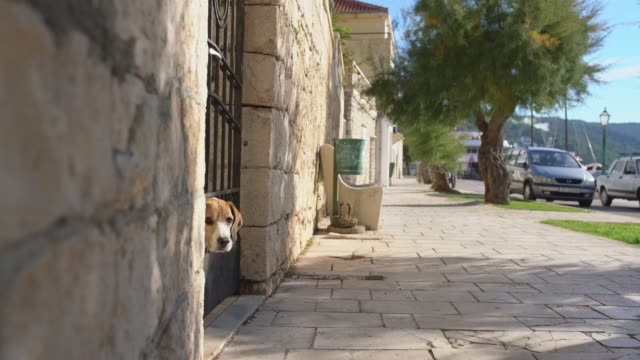 ms curious dog behind gate barking at passersby on sidewalk - barking animal sound stock videos & royalty-free footage