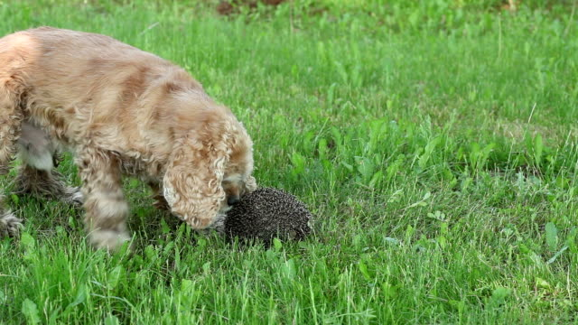 curious dog trying to uncurl the hedgehog - hedgehog stock videos & royalty-free footage