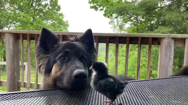 curious dog walks up and sniffs at a chick standing on a table outdoors - animal hair stock videos & royalty-free footage