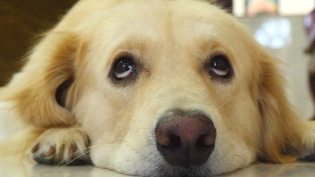 curious face golden retriever dog - boredom stock videos & royalty-free footage