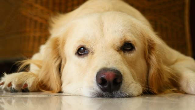 Curious Face Golden Retriever Dog