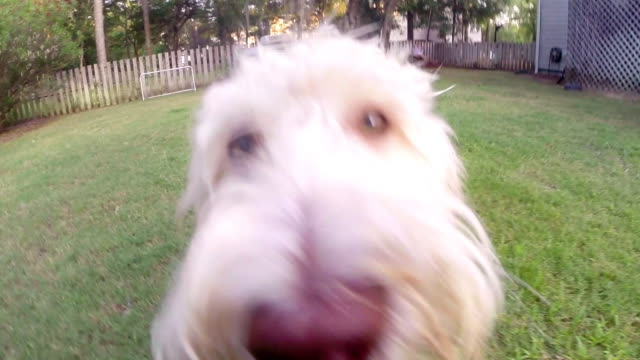 curious family dog sniffs the camera and runs away - dog stock videos & royalty-free footage
