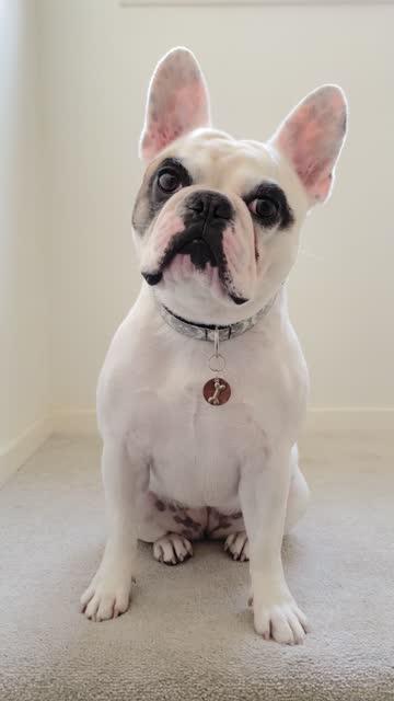 vídeos de stock e filmes b-roll de curious french bulldog tilting head with doubt - one animal
