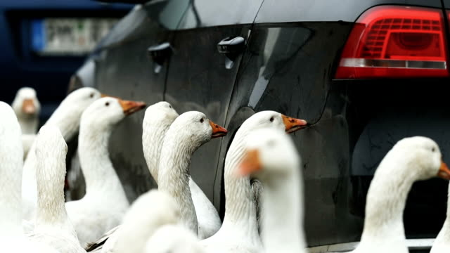 Curious geese perhaps attracted by their reflection nibble on the exterior of a car at the Schulz und Peper farm in Brandenburg state on November 21...