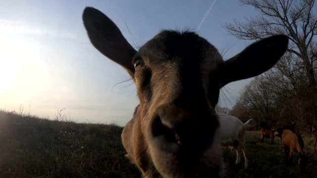 curious goat - sideways glance stock videos & royalty-free footage