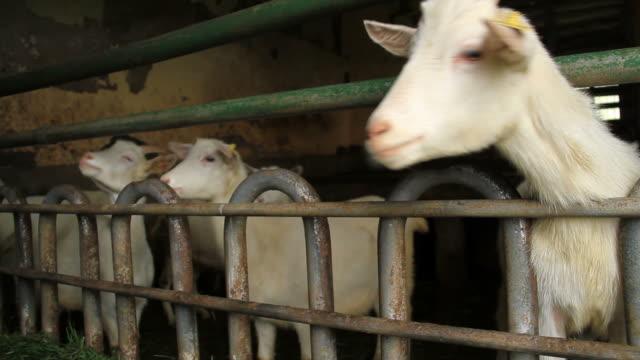 好奇心旺盛なヤギ - 身体症状点の映像素材/bロール