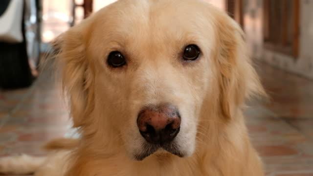 vídeos de stock, filmes e b-roll de cão curioso retriever dourado - fofo descrição geral