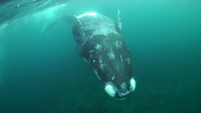 curious juvenile southern right whale performs in front of the camera, nuevo gulf, valdes peninsula, argentina. - southern right whale stock videos & royalty-free footage