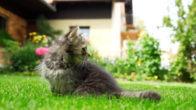 hd 超スローモーション: 好奇心の強いキトンの芝生 - 雑種のネコ点の映像素材/bロール