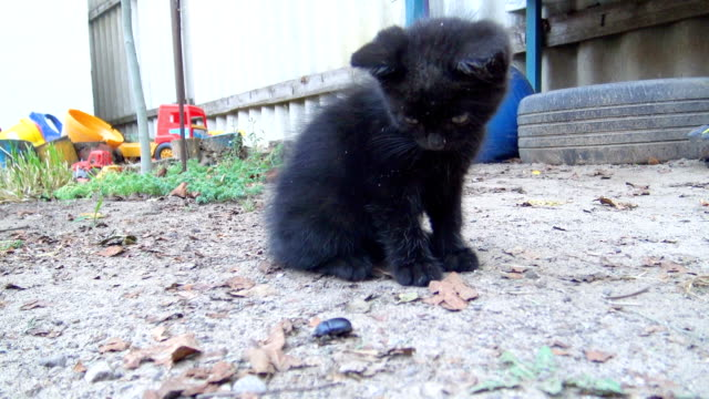 curious kitten sniffing a beetle